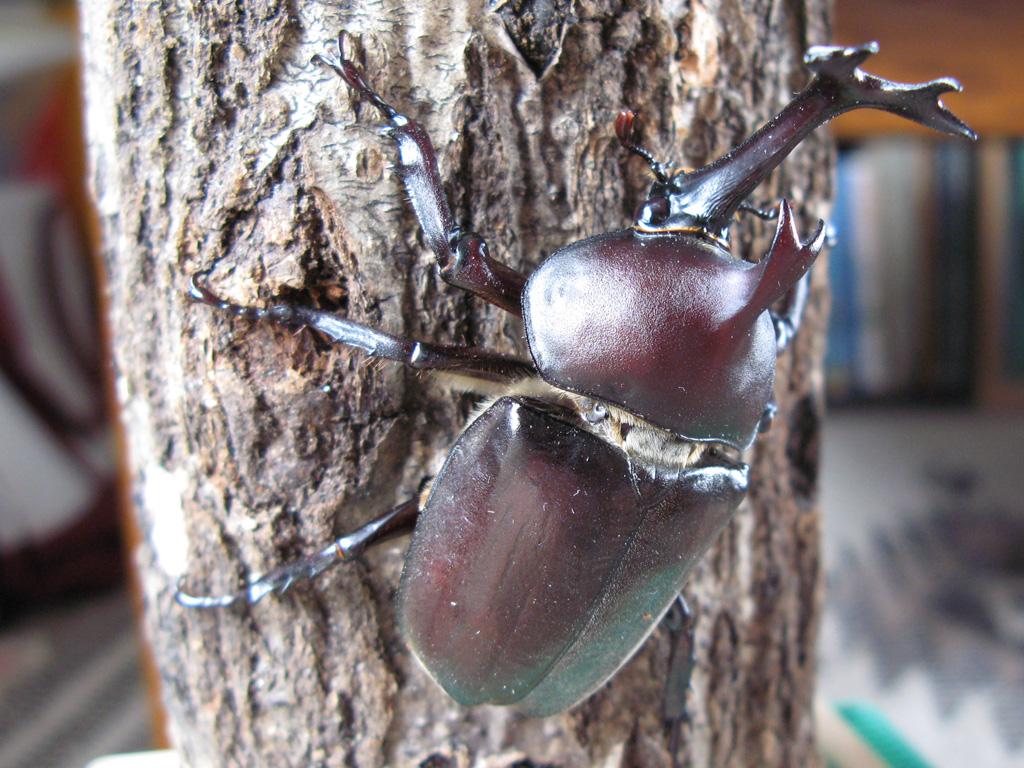 パパ&ママ必見!子供向けのわかりやすいカブトムシ採集マニュアル!夏は家族で昆虫採集に行こう!